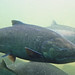 Chinook Salmon - Photo (c) Michael Jefferies, some rights reserved (CC BY-NC)