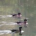 Small photo of WOOD DUCK (Aix sponsa)