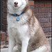 Scarlet the Siberian Husky