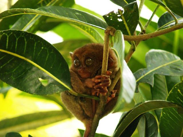 tarsier smiling