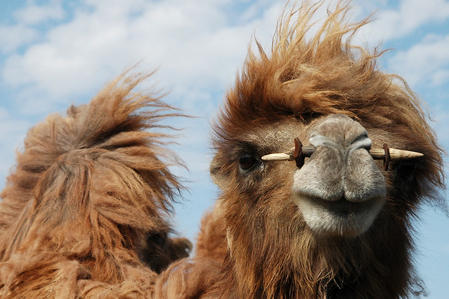 Sassy A Bactrian Camel My Brother S Nose Pierced Camel