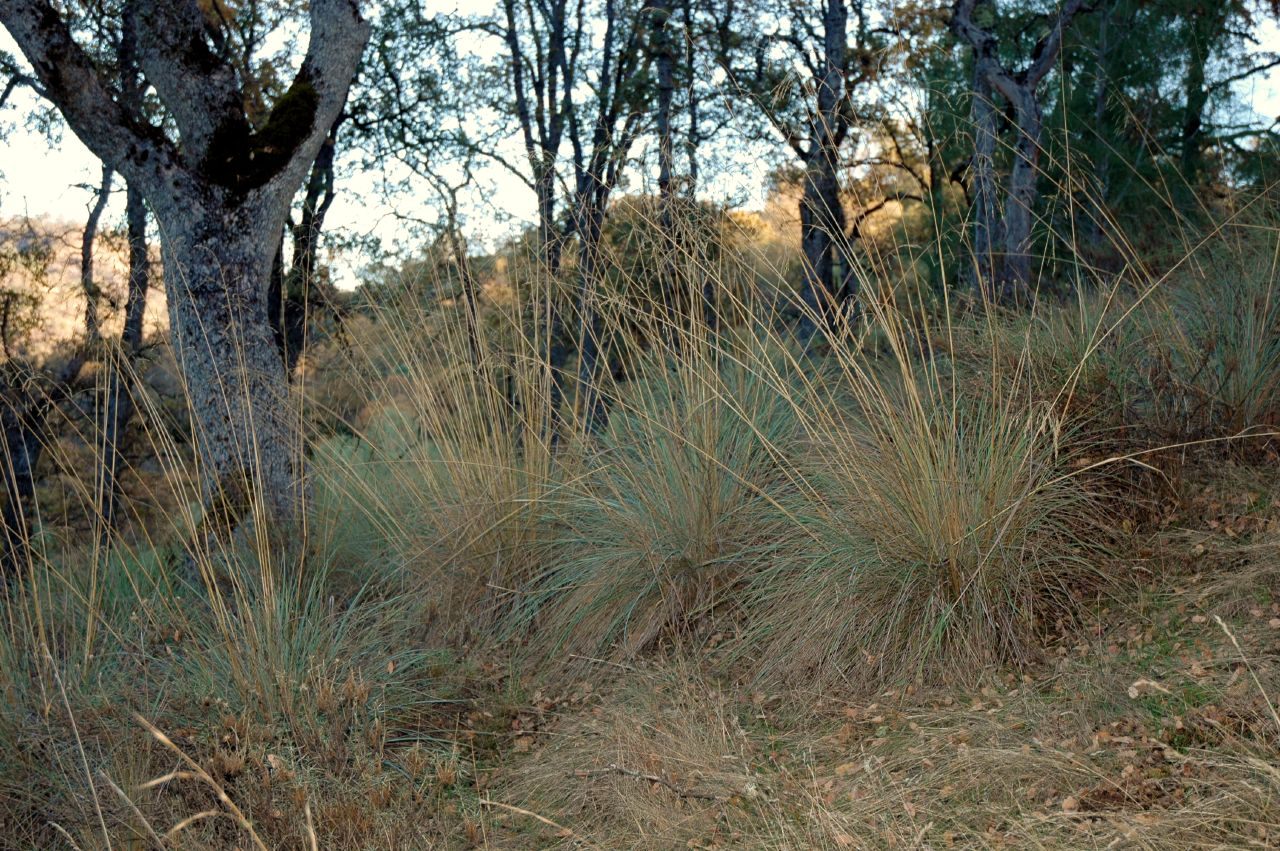 California fescue - Festuca californica