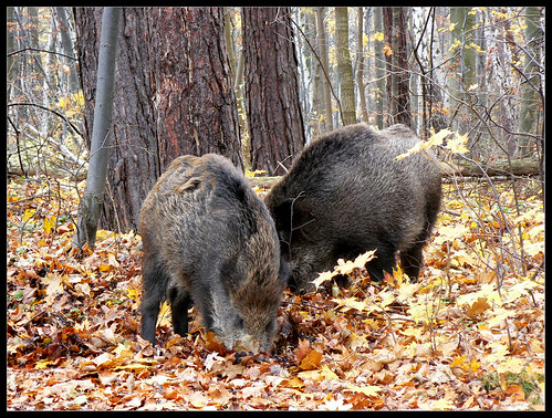 Boars on the walk