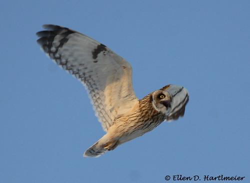 Short Eared Owl Screaming at hawk IMG_1084.jpg