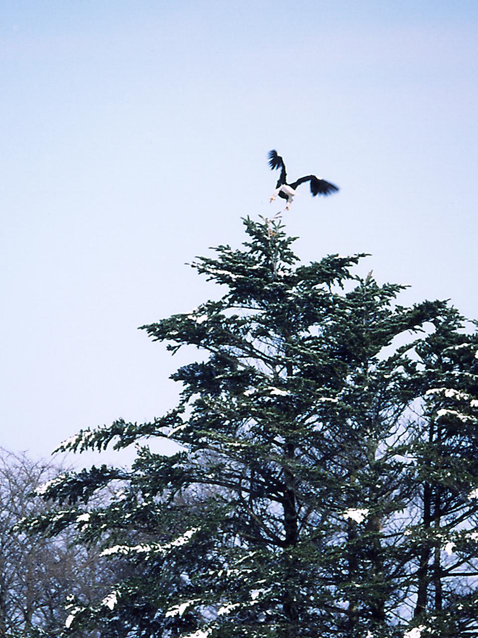 飛ぶよオオワシ