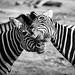 zoo-67 by Jen MacNeill
