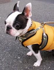 dog breed(1.0), animal(1.0), dog(1.0), old english bulldog(1.0), pet(1.0), olde english bulldogge(1.0), mammal(1.0), toy bulldog(1.0), french bulldog(1.0), boston terrier(1.0), bulldog(1.0),