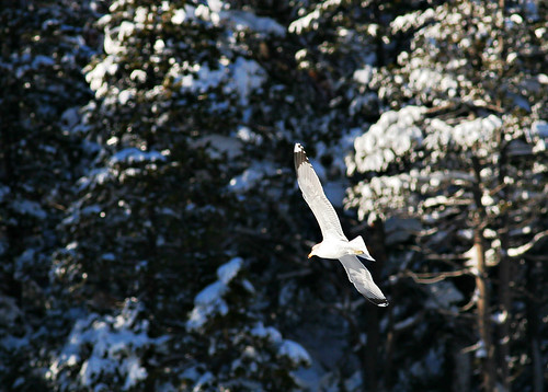 california sea mountain snow tree 20d forest canon flying photo gull nevada sierra evergreen photograph summit sacramento donner placercounty truckie casch canon300mmf4l snowyseagullatdonner familygetty
