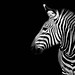zebra in The Dark Side by A.alFoudry