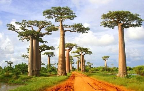 Baobabs - Madagascar. flickr/Ahaano