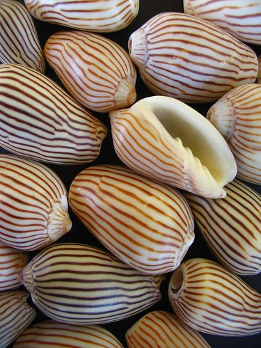 zebra volute shells by *omnia*