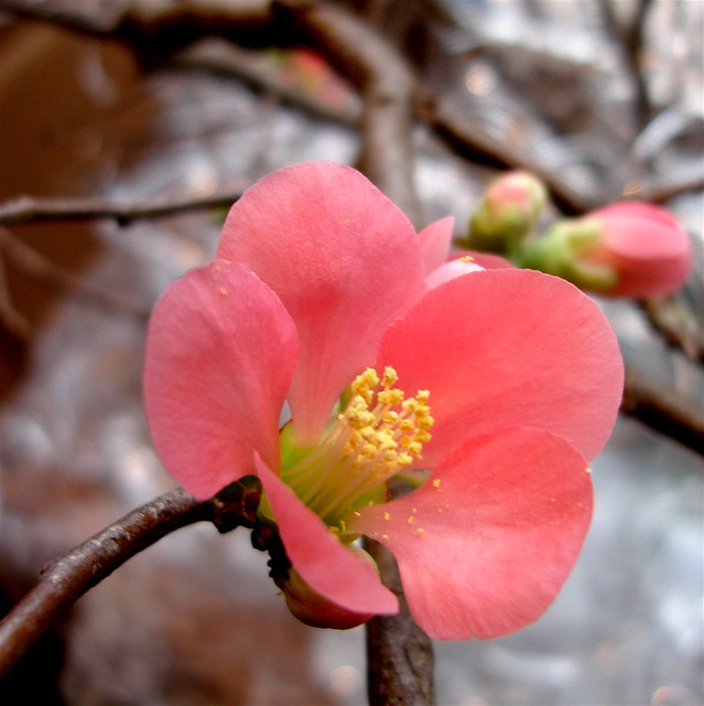quince blossoms - Quince Flower