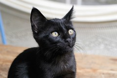 animal, small to medium-sized cats, pet, black cat, fauna, bombay, cat, carnivoran, whiskers, black, nebelung, domestic short-haired cat,