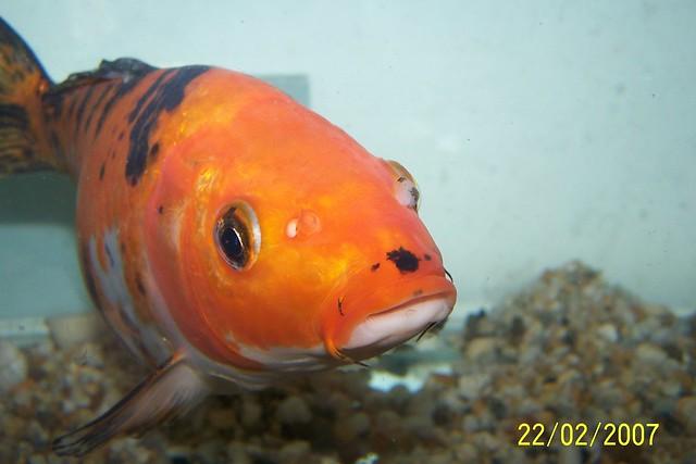 Koi flickr photo sharing for Koi vs goldfish