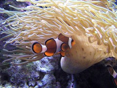 coral reef, animal, anemone fish, coral, fish, coral reef fish, organism, marine biology, invertebrate, marine invertebrates, underwater, reef, sea anemone,