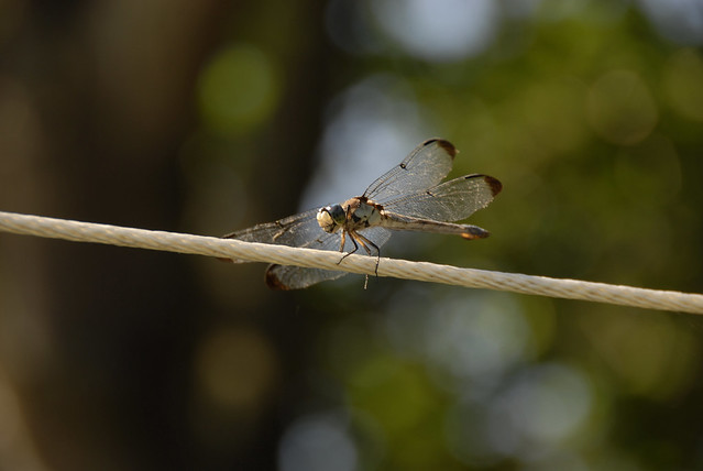 Dragonfly_0164