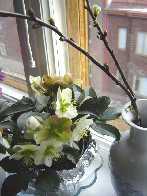 jouluruuusu, helleborus in March