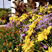 Small photo of Closeup of annual rudbeckia and ageratum