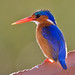 Malachite Kingfisher (Alcedo cristata) by Nature Photographer