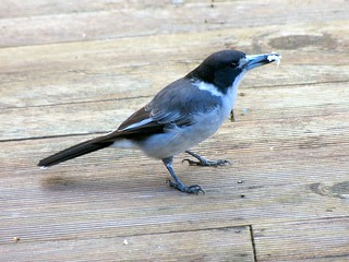 Silver-backed butcher bird  Race colletti