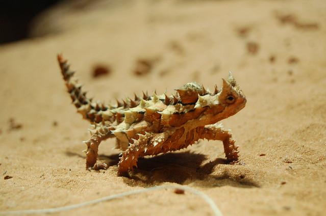 thorny devil lizard flickr photo sharing