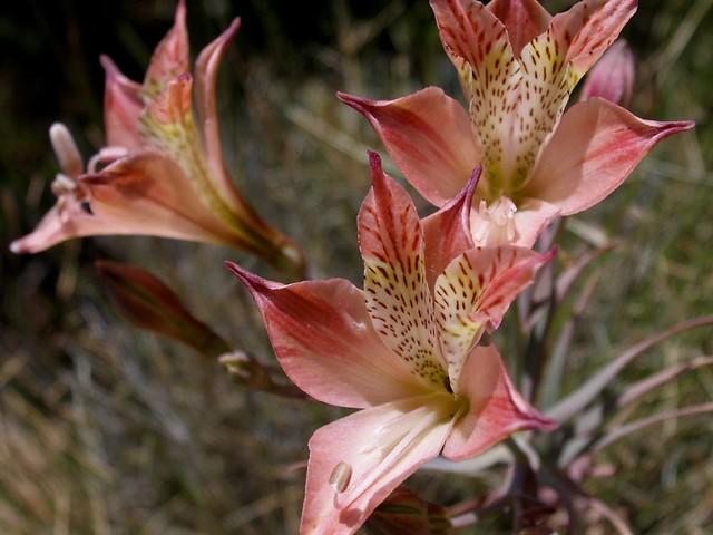 Alstroemeria marticorenae