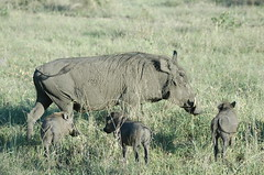 animal, prairie, plain, mammal, herd, grazing, fauna, warthog, pasture, savanna, grassland, wildlife,
