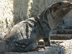 iguania, reptile, lizard, komodo dragon, fauna, iguana, scaled reptile, wildlife,