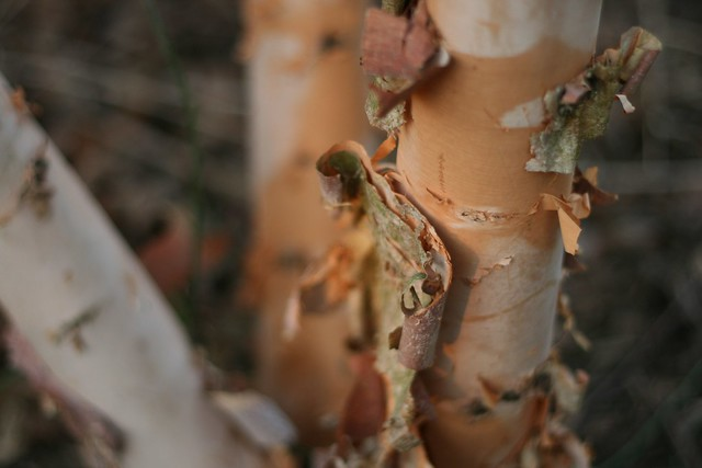 Birch tree facts