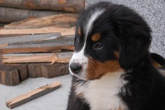 dog breed, animal, dog, appenzeller sennenhund, greater swiss mountain dog, miniature australian shepherd, entlebucher mountain dog, bernese mountain dog, carnivoran,