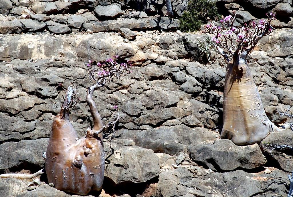 ソコトラ島の壁に張り付いて生きるボトルツリー