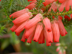 Erica mammosa (Ericaceae)