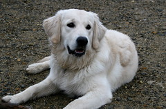 puppy(0.0), dog breed(1.0), animal(1.0), polish tatra sheepdog(1.0), dog(1.0), pet(1.0), slovak cuvac(1.0), golden retriever(1.0), carnivoran(1.0),