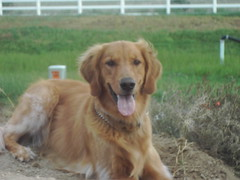 dog breed, animal, dog, hovawart, pet, setter, golden retriever, carnivoran,