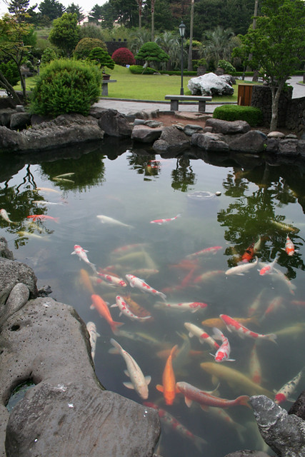 Koi fish in pond at bonsai garden flickr photo sharing for Koi fish pond help