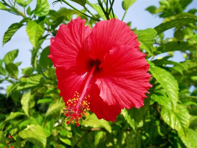Bunga Raya Flickr Photo Sharing