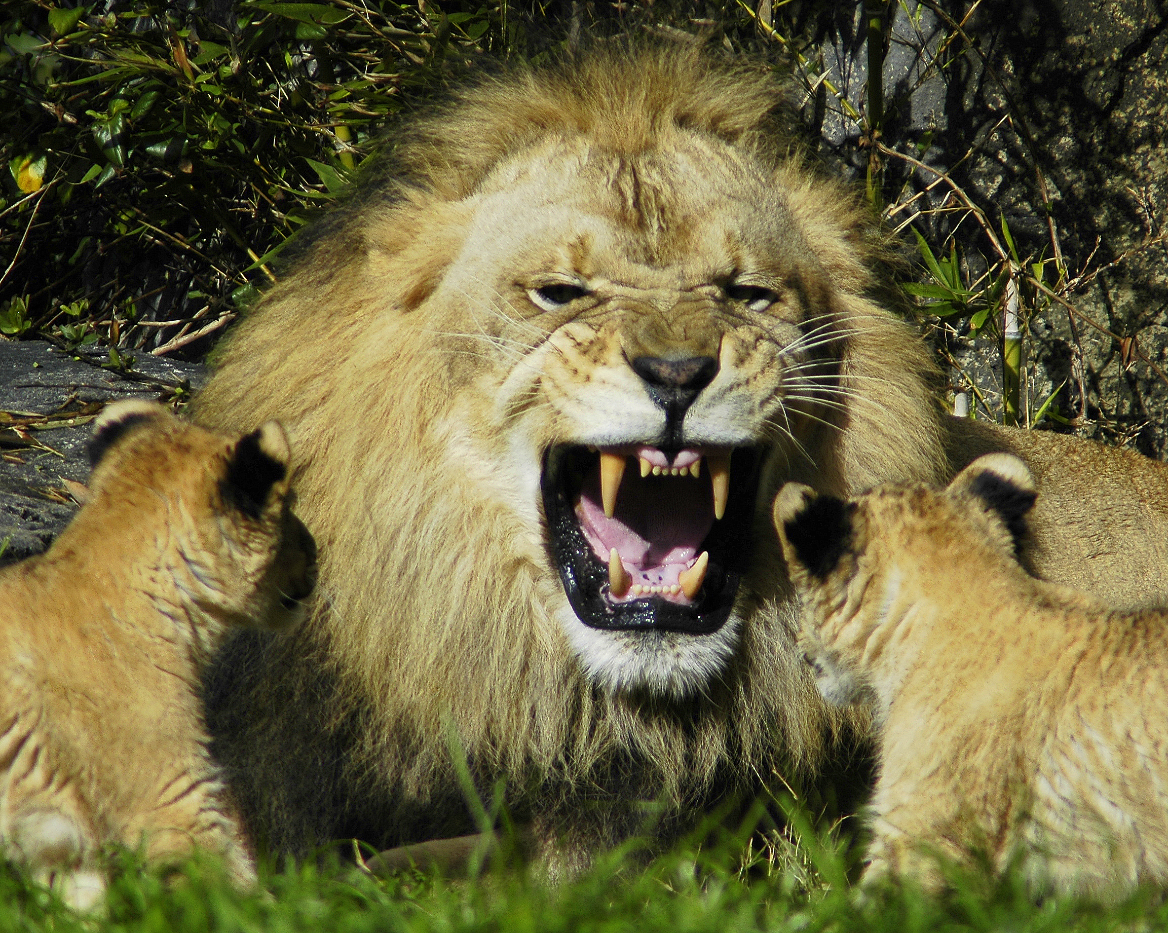Lion showing its teeth.