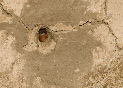 Staring Masai Eye