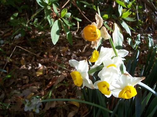 First Daffodils 2007 - PaD 2/3/07