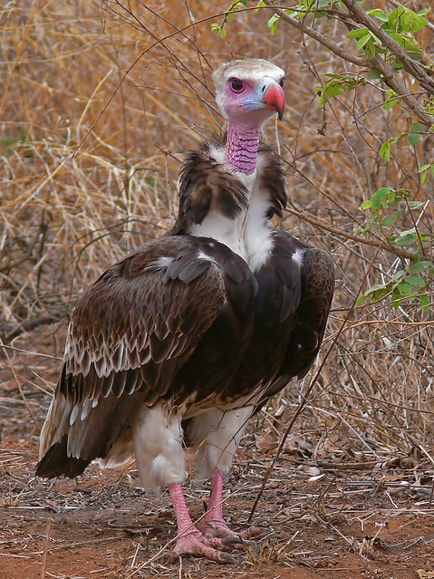 White-headed Vulture (Trigonoceps occipitalis) | Flickr ...