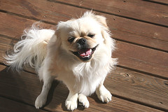 dog breed, animal, dog, pet, japanese chin, tibetan spaniel, chinese imperial dog, pekingese, carnivoran,