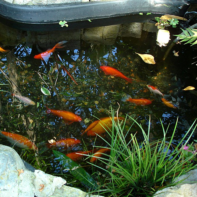 Koi pond flickr photo sharing for Koi pond app