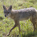 Small photo of Golden jackal, Amboseli National Park, Kenya