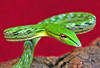 "<a href=""http://www.flickr.com/photos/furryscalyman/402964947/"">Photo of Ahaetulla prasina by Matt Reinbold</a>"