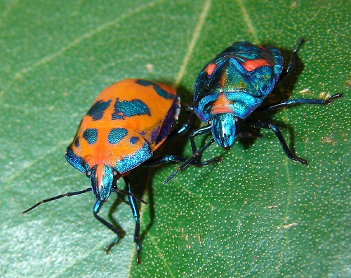 Cotton Harlequin Bugs