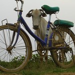 A Cow and A Bike - Battambang, Cambodia