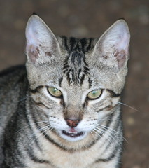 bengal(0.0), toyger(0.0), peterbald(0.0), pixie-bob(0.0), oriental shorthair(0.0), egyptian mau(0.0), ocelot(0.0), ocicat(0.0), animal(1.0), tabby cat(1.0), small to medium-sized cats(1.0), savannah(1.0), pet(1.0), european shorthair(1.0), fauna(1.0), american shorthair(1.0), close-up(1.0), cat(1.0), rusty-spotted cat(1.0), wild cat(1.0), carnivoran(1.0), whiskers(1.0), domestic short-haired cat(1.0),