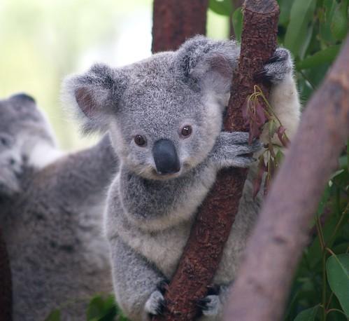 Cutest Koala