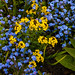 The Blue Forget Me Not by Steve Taylor (Photography)