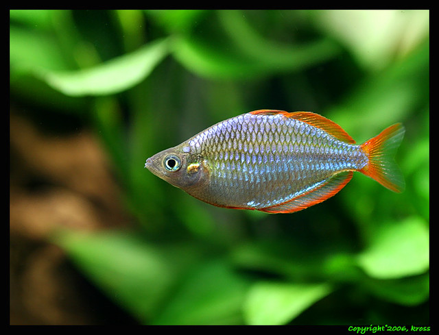 Dwarf rainbow flickr photo sharing for Dwarf rainbow fish